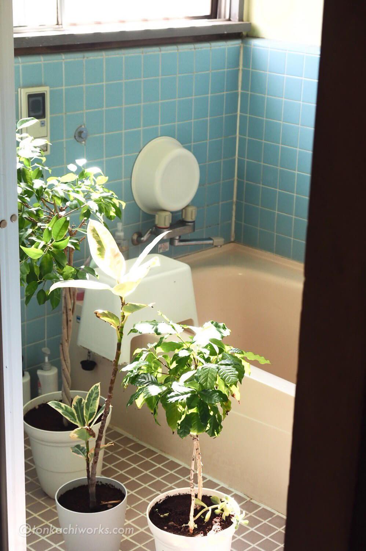 お風呂場で水浴びしてる植物